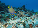 Sea Turtle (Chelonioidea) and Queen Angelfish (Holacanthus Ciliaris) Eating, Cozumel, Mexico Photographic Print by Antonio Busiello