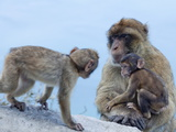 Barbary Macaques (Macaca Sylvanus) Interaction, Gibraltar, Europe Photographic Print by Giles Bracher