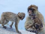Barbary Macaques (Macaca Sylvanus) Interaction, Gibraltar, Europe Photographic Print by Giles Bracher