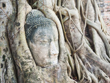 Stone Buddha Head in Fig Tree, Wat Mahathat, Ayutthaya City, UNESCO World Heritage Site, Thailand Photographic Print by Matthew Williams-Ellis