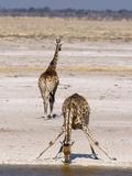 Giraffe (Giraffa Camelopardalis), Etosha National Park, Namibia, Africa Photographic Print by Sergio Pitamitz