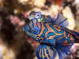 Mandarinfish (Synchiropus Splendidus) Mating, Sulawesi, Indonesia, Southeast Asia, Asia Photographic Print by Lisa Collins