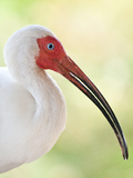 White Ibis (Eudocimus Albus), Everglades, Florida, United States of America, North America Photographic Print by Michael DeFreitas