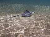 Stingray (Dasyatis Thetidis) Fishing, Cozumel, Mexico, Caribbean, North America Photographic Print by Antonio Busiello