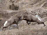 Two Bighorn Sheep (Ovis Canadensis) Rams Head Butting, Clear Creek County, Colorado, USA Photographic Print by James Hager