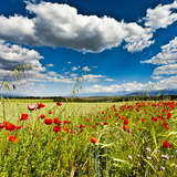 Wild Poppies (Papaver Rhoeas) and Wild Grasses in Front of Sierra Nevada Mountains, Spain Fotodruck von Giles Bracher