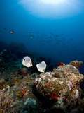 Foureye Butterflyfish (Chaetodon Capistratus), St. Lucia, West Indies, Caribbean, Central America Photographic Print by Lisa Collins