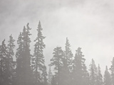 Evergreens Surrounded by Fog, Jasper National Park, UNESCO World Heritage Site, Alberta, Canada Photographic Print by James Hager