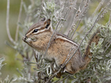 Yellow Pine Chipmunk (Eutamias Amoenus) with Sagebrush Leaves, Yellowstone Nat'l Park, Wyoming, USA Lámina fotográfica por James Hager