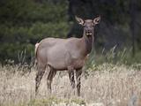 Elk (Cervus Canadensis) Cow, Jasper National Park, Alberta, Canada, North America Photographic Print by James Hager