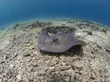 Stingray (Dasyatis Thetidis), Cozumel, Mexico, Caribbean, North America Photographic Print by Antonio Busiello