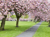 Cherry Blossom on the Stray in Spring, Harrogate, North Yorkshire, Yorkshire, England, UK, Europe Photographic Print by Mark Sunderland