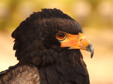 Bateleur (Terathopius Ecaudatus), Resident in Sub-Saharan Africa, in Captivity in UK Photographic Print by Raj Kamal