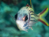 Redcoat Squirrelfish (Sargocentron Rubrum), Sulawesi, Indonesia, Southeast Asia, Asia Photographic Print by Lisa Collins