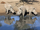 White Rhinos (Ceratotherium Simum), Mkhuze Game Reserve, Kwazulu Natal, South Africa, Africa Photographic Print by Ann & Steve Toon