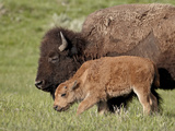 Bison (Bison Bison) Cow and Calf, Yellowstone National Park, Wyoming, USA, North America Photographic Print by James Hager