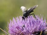 Nectar Feeding Horse Fly (Pangonius Funebris) on Milk Thistle (Carduus Marianus), Lesbos, Greece Photographic Print by Nick Upton