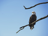 Bald Eagle (Haliaeetus Leucocephalus) on a Branch, Coeur D'Alene Lake, Idaho, USA, North America Photographic Print by Antonio Busiello