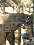 Baby Asian Elephants Being Fed, Uda Walawe Elephant Transit Home, Sri Lanka, Asia Photographic Print by Peter Barritt