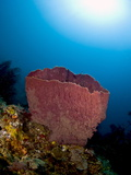 Giant Barrel Sponge (Xestosongia Muta), and Sunburst, St Lucia, West Indies, Caribbean Photographic Print by Lisa Collins