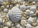 Sea Shells, Hebrides, Scotland, United Kingdom, Europe Photographic Print by Mark Harding