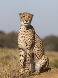 Cheetah Female (Acinonyx Jubatus), Phinda Private Game Reserve, Kwazulu Natal, South Africa, Africa Photographic Print by Ann & Steve Toon