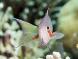 Threadfin Anthias (Pseudanthias Huchti) Male, Sulawesi, Indonesia, Southeast Asia, Asia Photographic Print by Lisa Collins
