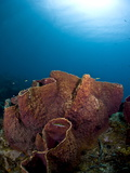 Giant Barrel Sponge (Xestosongia Muta), St. Lucia, West Indies, Caribbean, Central America Photographic Print by Lisa Collins