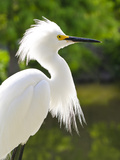 Snowy Egret (Egretta Thula), Everglades, Florida, United States of America, North America Photographic Print by Michael DeFreitas