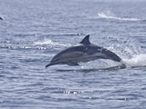 Common Dolphin (Delphinus Delphis), Sound of Mull, Inner Hebrides, Scotland, United Kingdom, Europe Photographic Print by Mark Harding