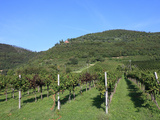 Vineyard, Vincenza, Veneto, Italy, Europe Photographic Print by Vincenzo Lombardo