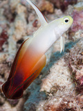 Fire Dartfish (Nemateleotris Magnifica), Sulawesi, Indonesia, Southeast Asia, Asia Photographic Print by Lisa Collins