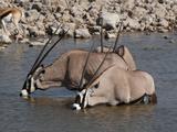 Gemsbok Oryx (Oryx Gazella Gazella), Etosha National Park, Namibia, Africa Photographic Print by Sergio Pitamitz
