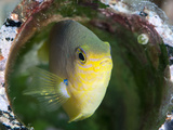 Golden Damsel Fish (Amblyglyphidodon Aureus) in a Coral Encrusted Bottle, Sulawesi, Indonesia Photographic Print by Lisa Collins