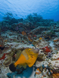 Whitespotted Filefish (Cantherhines Macrocerus), Cozumel, Mexico, Caribbean, North America Photographic Print by Antonio Busiello