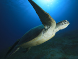 A Green Turtle Leaves the Sea Grass to Surface for Air, Egypt, North Africa, Africa Photographic Print by Stuart Keasley