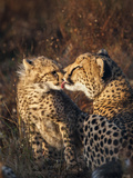 Cheetah (Acinonyx Jubatus) with Cub, Phinda Private Game Reserve, Kwazulu Natal, South Africa Photographic Print by Ann & Steve Toon