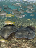 Stingray (Dasyatis Thetidis) and Fish, Cozumel, Mexico, Caribbean, North America Photographic Print by Antonio Busiello