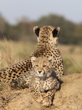 Cheetah (Acinonyx Jubatus) Cub, Phinda Private Game Reserve, Kwazulu Natal, South Africa, Africa Photographic Print by Ann & Steve Toon