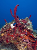 Erect Rope Sponge (Amphimedon Compressa), St. Lucia, West Indies, Caribbean, Central America Photographic Print by Lisa Collins