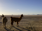 Llama and Alpaca on Salt Flats, Salar de Uyuni, Southwest Highlands, Bolivia, South America Photographic Print by Simon Montgomery