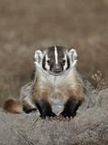 Badger (Taxidea Taxus), Buffalo Gap National Grassland, Conata Basin, South Dakota, USA Photographic Print by James Hager