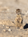 Yellow Mongoose (Cynictis Penicillata) Baby, Kgalagadi Transfrontier Park, South Africa, Africa Photographic Print by Ann & Steve Toon