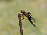 Broad-Bodied Chaser Dragonfly (Libellula Depressa) Female, Lesbos, Greece Photographic Print by Nick Upton