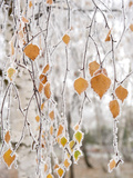 Frost-Covered Birch Branches and Leaves, Town of Cakovice, Prague, Czech Republic, Europe Photographic Print by Richard Nebesky