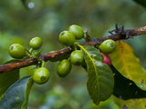 Coffee Beans, Highlands, Papua New Guinea, Pacific Photographic Print by Michael Runkel