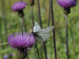 Black Veined White Butterfly (Aporia Crataegi), Pannonic Thistle (Cirsium Pannonicum), Slovenia Photographic Print by Nick Upton