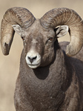 Bighorn Sheep (Ovis Canadensis) Ram, Clear Creek County, Colorado, USA, North America Photographic Print by James Hager