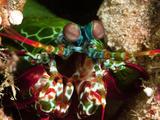 Mantis Shrimp (Odontodactylus Scyllarus), Sulawesi, Indonesia, Southeast Asia, Asia Photographic Print by Lisa Collins