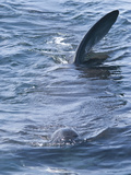 Dorsal Fins at Surface, Telltale Signs of Giant Basking Shark (Cetorhinus Maximus), Coll, Scotland Photographic Print by Mark Harding